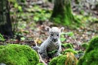 leopardik3