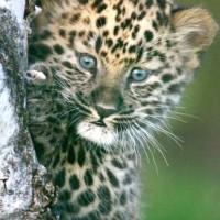 leopardik
