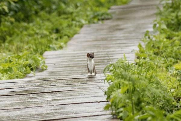 Любопытный горностай